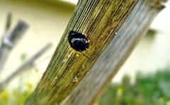 Xylocopa iris f - Inside nest - 30 V 2012 (el.gritche) Tags: hymenoptera apidae xylocopinae xylocopa iris xylocopairis france 40 garden nest foeniculumvulgare bee abeille