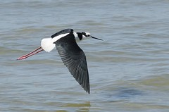 Pernilongo-de-costas-brancas (White-backed Stilt) (Jonatan Vitor Lemos) Tags: white backed stilt birdwatcher naturelovers himantopus melanurus pernilongodecostasbrancas