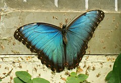 Peleides Blue Morpho, Common Morpho, or The Emperor (Morpho peleides) (Linda DV) Tags: travel canon butterfly insect tenerife canaryislands islascanarias icod mariposario icoddelosvinos 2013 mariposariodeldrago lindadevolder powershotsx40