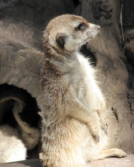 Merkats_133 (Dancing with Ghosts Graphics) Tags: ca copyright cute animal mammal meerkat pups graphics small gang 8x10 mob hemet clan mongoose angola sentry suricate copyrighted burrows suricatta dwg desert merkats diurnal 2013 photographiy fawncolored herpestid iteroparous kalahari namib debbrawalker feliform dancingwghosts suricata suricatta dwggraphics botswana oraging siricata majoriae iona
