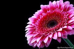 Pink gerbera flower on a dark background, selective focus, close up and space for text (Fiery-Phoenix) Tags: pink red summer holiday plant black flower macro art nature floral beautiful beauty closeup dark botanical gold spring flora loneliness close natural bright blossom anniversary background text sunny carving velvet fresh petal gift gerbera sunflowers present daisy bloom florist copyspace pollen ornamental celebrate isolated springtime gerber blooming elegance