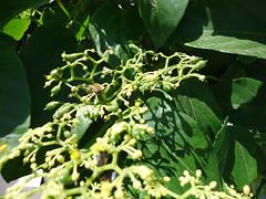 Planta Insulina - Abelha/Bee (jemaambiental) Tags: life flowers plants naturaleza flores leave plantas natural natureza vida plantasdiversas botesflorais plantaflorida perspectivasemplantasfolhas plantainsulina