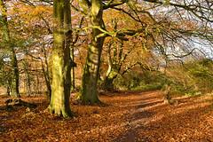 Autumn on Old Down (Beardy Vulcan) Tags: old autumn trees england tree fall olddown down hampshire beech basingstoke beechwood fagussylvatica 2013 loddonvalley chalkdownland kempshott