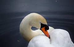 Clydebank Swans (Michelle O'Connell Photography) Tags: family clyde canal swan babies young cygnet mate muteswan clydebank dumbartonshire clydebankshoppingcentre michelleoconnellphotography