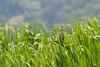 20140531-IMGP4488.jpg (Ethan_Stone) Tags: 風景 鳥 佐鳴湖 野生生物 rawあり