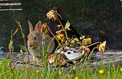 Baby Rabbit - Grave Robber !! (Mid Glam Sam1) Tags: flowers hot rabbit smile animal wales young kit grevestone