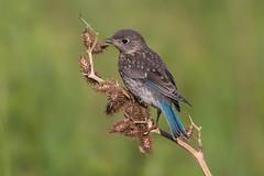Baby bluebird (Phiddy1) Tags: toronto ontario canada birds ngc npc bluebird easternbluebird