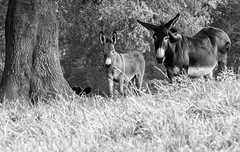 Donkeys on the Hill (cwhitted) Tags: blackandwhite bw canon eos blackwhite donkey fearrington chathamcounty fearringtonvillage canoneos400d canoneosdigitalrebelxti canonef28135mmisusm
