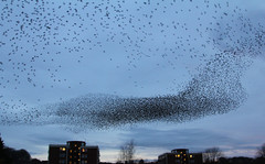 IMG_6331 (itchenbirds) Tags: starling winchester murmuration