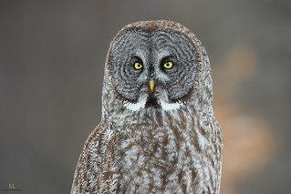 Chouette lapone - Great gray owl - Strix nebulosa