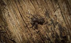 bark Salticid (dustaway) Tags: arthropoda arachnida araneae araneomorphae salticidae genus spideronbark jumpingspider australianspiders tallowwood tamborinemountain mounttamborine sequeensland queensland australia nature spinne