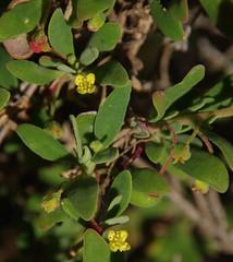 Tetragonia implexicoma, Cape Naturaliste, WA, 31/10/16 (Russell Cumming) Tags: plant tetragonia tetragoniaimplexicoma aizoaceae capenaturaliste busselton westernaustralia