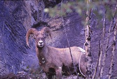 IMG_0017 (Rock Rabbit Photo) Tags: scans sheep horns bighorn rams slides