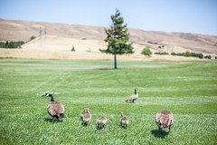 Ducks on the walk (Grdym) Tags: california trees summer sky green grass birds canon landscape landscapes outdoor feathers ducks 50mm14 2013 5dmarkii