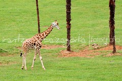 (Irantzu Arbaizagoitia) Tags: africa wild two brown cute nature beautiful grass animal standing mouth neck mammal nose zoo high long head eating african spots giraffes tall giraffe giraffa herbivore girafe ruminant
