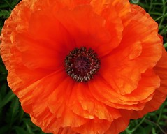 poppies 036 (cellocarrots) Tags: poppies