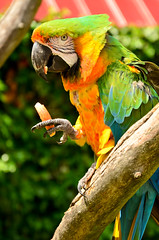 Ara II (Jessica Moberg) Tags: blue red orange white black tree green nature leaves animal yellow fruit zoo skne nikon branch sweden natur parrot sverige frukt gul trd ara bl svart rd djur ystad gren grn lv vit djurpark papegoja d5100