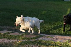 Labrador (Ricardo Araujo Leite) Tags: dog animal canon photography photo labrador natureza cachorro animais animalplanet animale t4i
