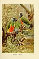n218_w1150 (BioDivLibrary) Tags: parrot zoology smithsonianlibraries bhl:page=33270332 dc:identifier=httpbiodiversitylibraryorgpage33270332 artist:name=friedrichwilhelmkuhnert artist:viaf=35212410