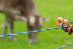 Too happy to escape (tom.leuzi) Tags: green nature grass animal fence schweiz switzerland kuh cow dof bokeh natur outoffocus diagonal gras grn zaun tier schwyz einsiedeln innerschweiz sihlsee canonef100mmf28macrousm canoneos7d