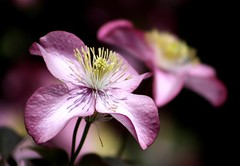 Inspiration (Mary Trebilco) Tags: pink flower macro nature garden pretty clematis macroflowerlovers superbmacroflowers