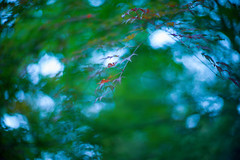 Invisible Wind (moaan) Tags: life leica 50mm dof wind bokeh f10 momiji japanesemaple utata osaka noctilux mino m9 2013 rustling inlife leicanoctilux50mmf10 leicam9 minoquasinationalpark