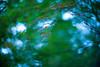 Invisible Wind (moaan) Tags: life leica 50mm dof wind bokeh f10 momiji japanesemaple utata osaka noctilux mino m9 2013 rustling inlife leicanoctilux50mmf10 leicam9 minoquasinationalpark