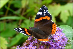 """Red Admiral - Vanessa atalanta - """"52/2013 Week 32"""" """"Give us your best shot"""" (pixmad) Tags: butterfly august panasonic southport 2013 redadmiralvanessaatalanta butterflyconservation heskethpark giveusyourbestshot bigbutterflycount lumixfz45 522013week32"""