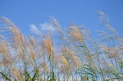 風を感じてくれますか? (e_haya) Tags: すすき nikond7000