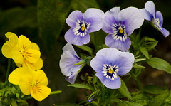 Talking (Stephen Whittaker) Tags: flowers blue color colour yellow nikon colours pov pansy vivid colourful multi d5100 whitto27