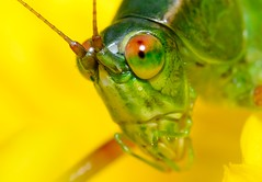 1:1 macro with 100% crop. (DigitalCanvas72) Tags: flower macro green yellow bug insect crop grasshopper dx shallowdof 11macro 16mp nikond7000 nikkorafs85mm35gedvrdxmicrolens