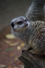 Kirkleatham Museum Character Fun Day (spikeybwoy - Chris Kemp) Tags: animal meerkat kirkleatham kirkleathammuseum