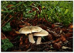 Clouded Funnels (zweiblumen) Tags: uk england nature mushroom shropshire fungi newport fungus tamron28300mm clitocybenebularis canoneos400d zweiblumen cloudedfunnel pavelane