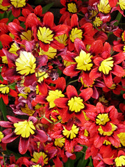 Red and Yellow Flowers (shaire productions) Tags: red plants plant flower detail macro nature floral leaves yellow closeup garden outdoors photography photo leaf petals flora natural image blossoms picture pic petal growth photograph vegetation imagery