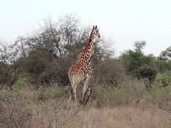 DSC00718 (m_kabza) Tags: southafrica safari timbavati tandatula