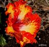 A very bright yellow and orange Hibiscus  at Warilla (pat.bluey) Tags: flowers orange yellow australia hibiscus newsouthwales 1001nights warilla flickraward 1001nightsmagiccity hennysgardens