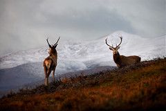 Winter in Strathglass (Gavin MacRae) Tags: winter nature mammal scotland nikon stag wildlife scottish deer reddeer glenaffric stags cervuselaphus scottishlandscape scottishwildlife scottishmountains highlandsofscotland glencannich scottishnature scottishhills strathglass glenstrathfarrar highlandlandscape highlandwildlife highlandnature