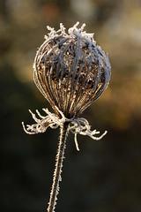 Queen Anne's Lace (gripspix (catching up slowly)) Tags: nature hoarfrost natur dry seeds rime daucuscarota raureif queenanneslace trocken samen umbel dolde wildemhre 20131213