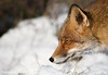 Portret in the snow (Alex Verweij) Tags: winter snow grass close sneeuw explore fox 7d gras predator hunt vos reinier jagen alexverweij redreinier