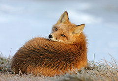 Red Fox Waking From A Nap (AlaskaFreezeFrame) Tags: fox redfox vixen cute nature outdoors wildlife canon alaska alaskafreezeframe animals mammals carnivore inexplore explore specanimal frosty cold beautiful closeup portrait wakingup napping 70200mm