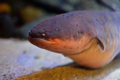 Electric Eel (Bri_J) Tags: aquarium nikon eel blueplanet electriceel d3200 electrophoruselectricus