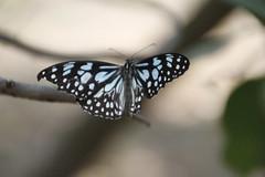51W2013  Butterfly