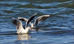 worm snack ... (miriam259) Tags: sea seagulls nature mare liguria worm gabbiani gennaio rivieradilevante sestrilevante nikond3200