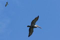 (Mac1968) Tags: ocean blue wild bird beach familia azul fauna mxico de mar gulf turtle playa aves pelican campamento diciembre tortuguero golfo campeche pelcano salvaje 2013 dslra580 xpicob