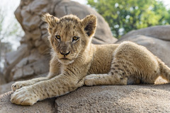 Cub lying on the rock