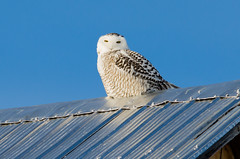 Snowy Owl (The official bird of Qubec) (PerfumeG2011 (off & on)) Tags: winter snow canada cold bird nature birds qubec snowyowl mirabel supershot nikond7000 lightroom5 sunrays5