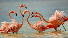 flamencos (GPARANGUREN) Tags: wildlife flamingo flamingos vida flamenco flamencos salvaje flamenc flamencs