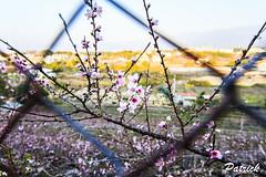 Peach blossom (PatrickStan) Tags: sun flower canon taiwan tokina taichung dslr t116 60d