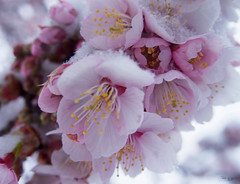 Cerasus cerasoides () (igh-033) Tags: snow japan cherry tokyo blossoms sakura cerasus vision:outdoor=068 vision:plant=0513 vision:flower=051 cerasoide