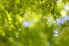 Live Forwards (Synapped) Tags: green leaves japanese leaf maple select